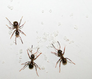 claremont ant control