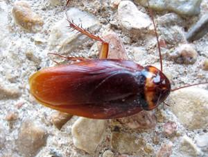 claremont cockroach control