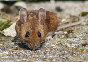 claremont rodent control