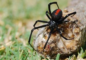 claremont spider control